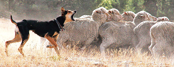 Huntaway sheep dog and Merino sheep, New Zealand