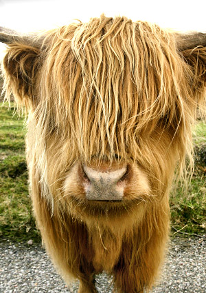Highland cow close-up, Scotland, UK