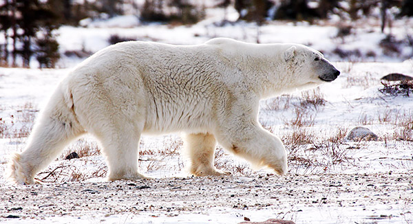 Polar bear walking near Churchill, Manitoba, Canada