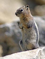 Columbian Ground Squirrel - Strictly copyrighted John T. Baker Photographer LLC, JayBee Stock.com