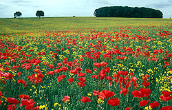 Poppies amid canola, Cotswolds, England - Strictly copyrighted John T. Baker Photographer LLC, JayBee Stock.com