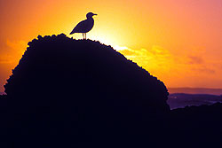 Gull in silhouette, Cannon Beach, Oregon - Strictly copyrighted John T. Baker Photographer LLC, JayBee Stock.com