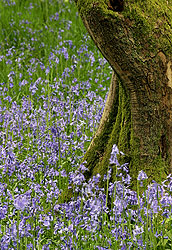 Bluebells, England - Strictly copyrighted John T. Baker Photographer LLC, JayBee Stock.com