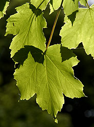 Back-lit Sycamore leaves, England - Strictly copyrighted John T. Baker Photographer LLC, JayBee Stock.com