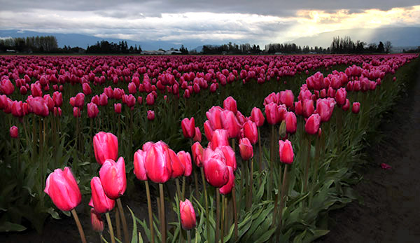 Skagit Valley Tulip Festival photo tours photo