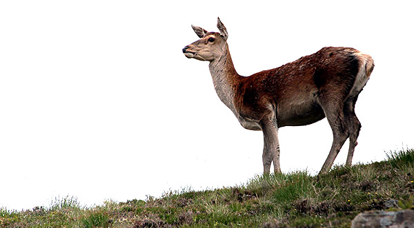 Red Deer, Scotland, UK
