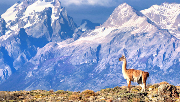 Patagonia photo tour image of a Guanaco near El Chalten, Argentina