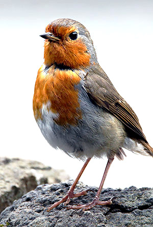 British Robin Rebreast, Scotland, UK