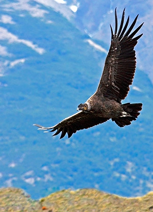 Patagonia photo tour image of a Condor in flight over Torres del Paine, Chile
